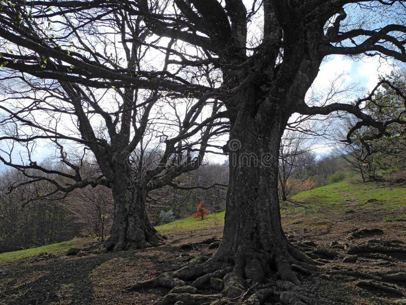 Kala träd med mörka filialer på en bergssida i vår royaltyfria bilder