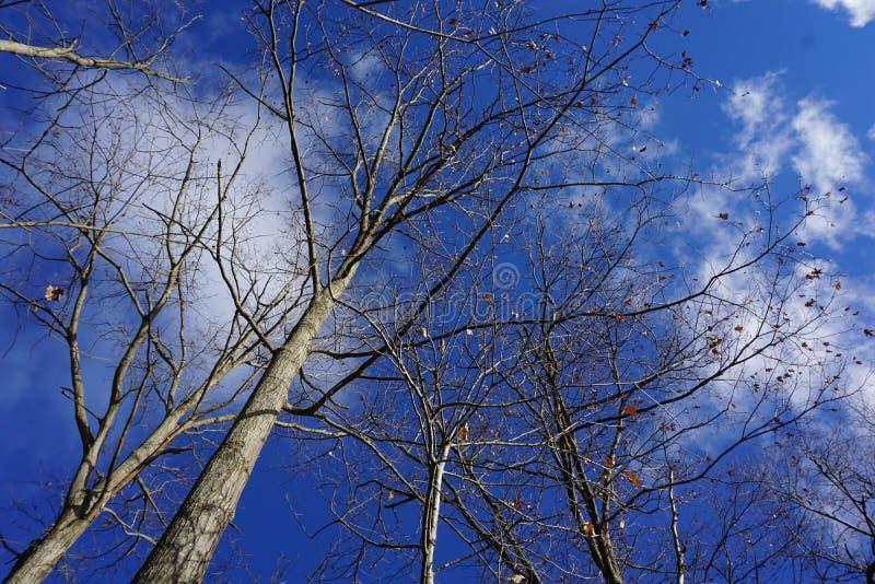 Kala träd mot blå vinterhimmel arkivfoto
