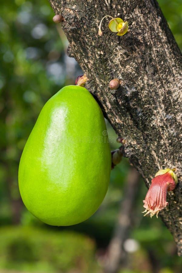 Kalabasy drzewo fotografia stock