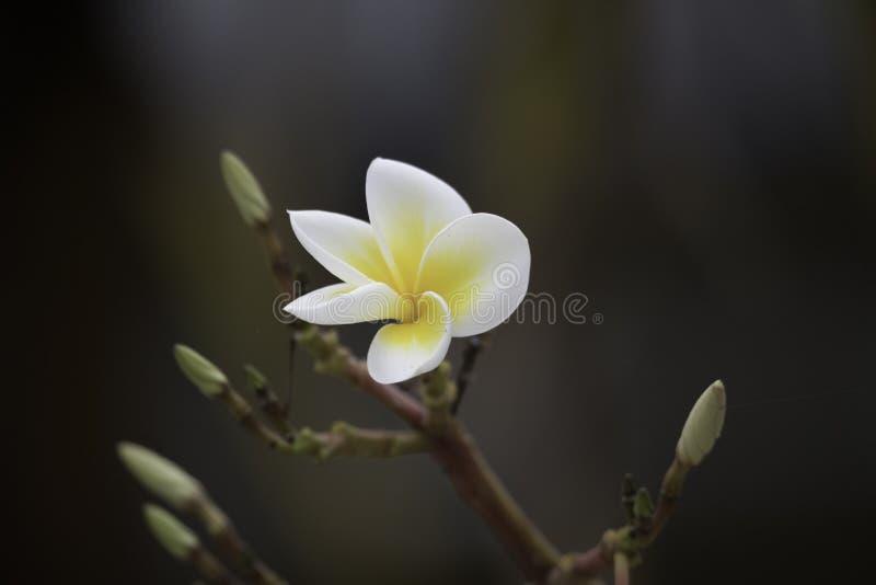 Kalachuchi Frangipani, pagodträd, bakgrund för svart för blomma för Apocynaceae för rubra för Plumeria för tempelträd royaltyfri fotografi