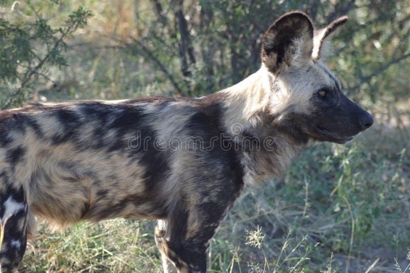 Kalahari central: Wilddogs es cazadores y asesinos peligrosos fotografía de archivo libre de regalías