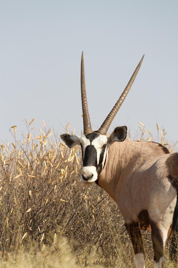 Download Kalahari gemsbok stock image. Image of outdoors, africa - 27691471