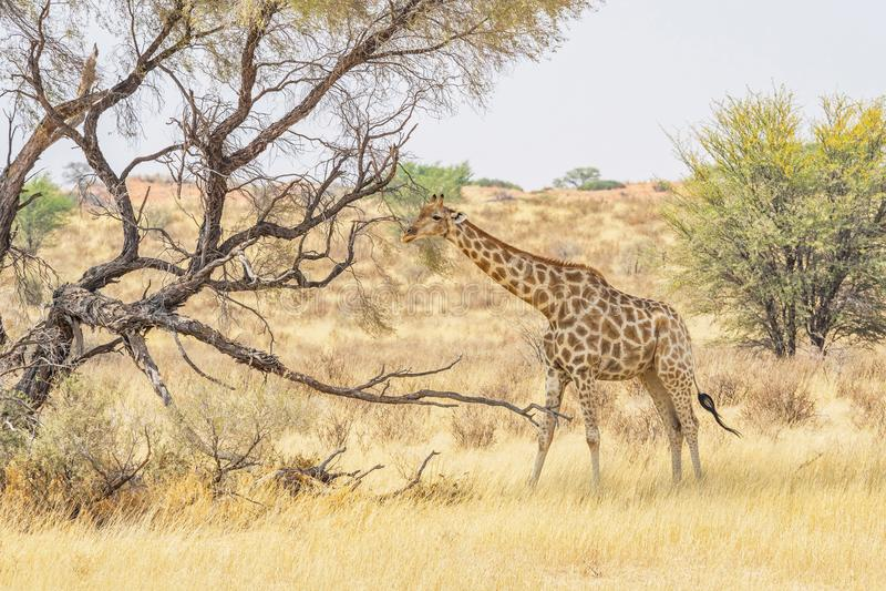 Kalahari giraff royaltyfri fotografi