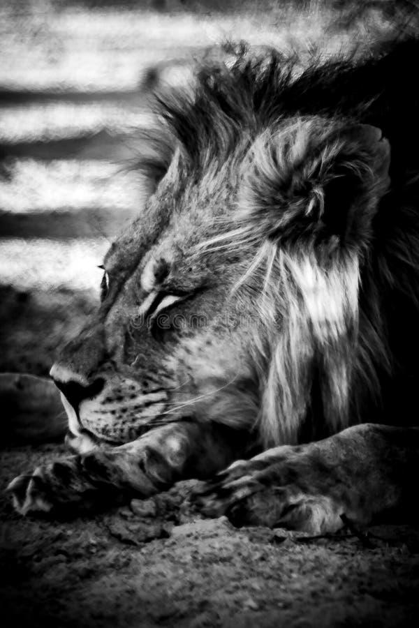 Kalahari-Löweporträt, das sich hinlegt lizenzfreies stockfoto