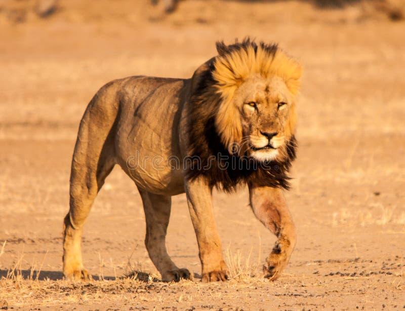 Kalahari lejon arkivfoton