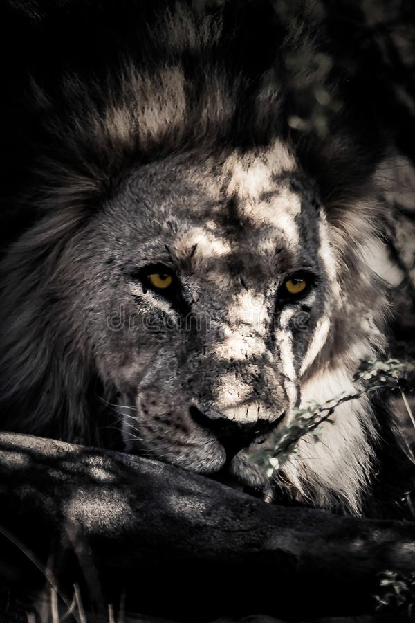 Kalahari Lion Close upp ståenden arkivfoton