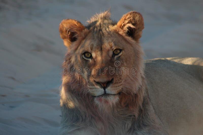 Kalahari Lion Male - después de la matanza 3 imagenes de archivo