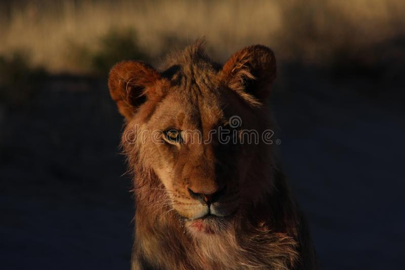 Kalahari Lion Male - después de la matanza 4 foto de archivo libre de regalías