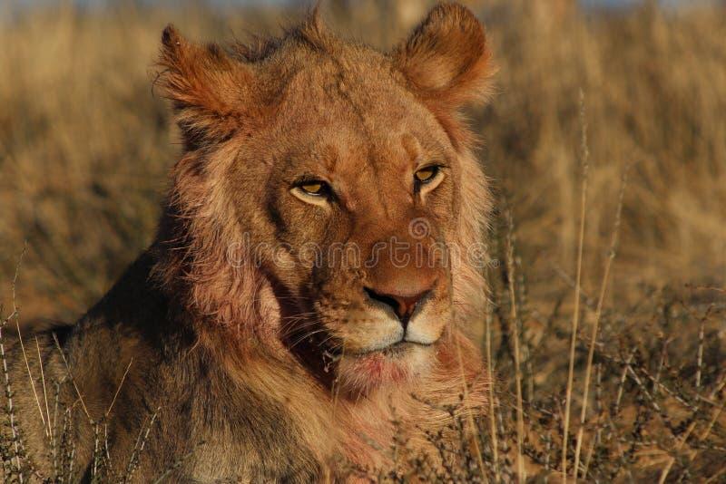 Kalahari Lion Male - después de la matanza 5 fotos de archivo libres de regalías