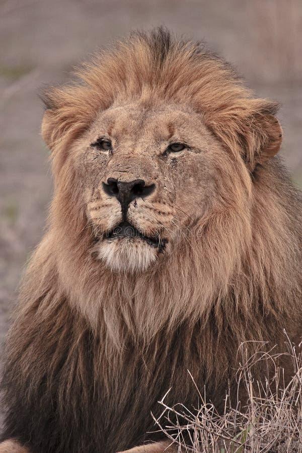 Download Kalahari male lion stock image. Image of brown, predator - 17618033