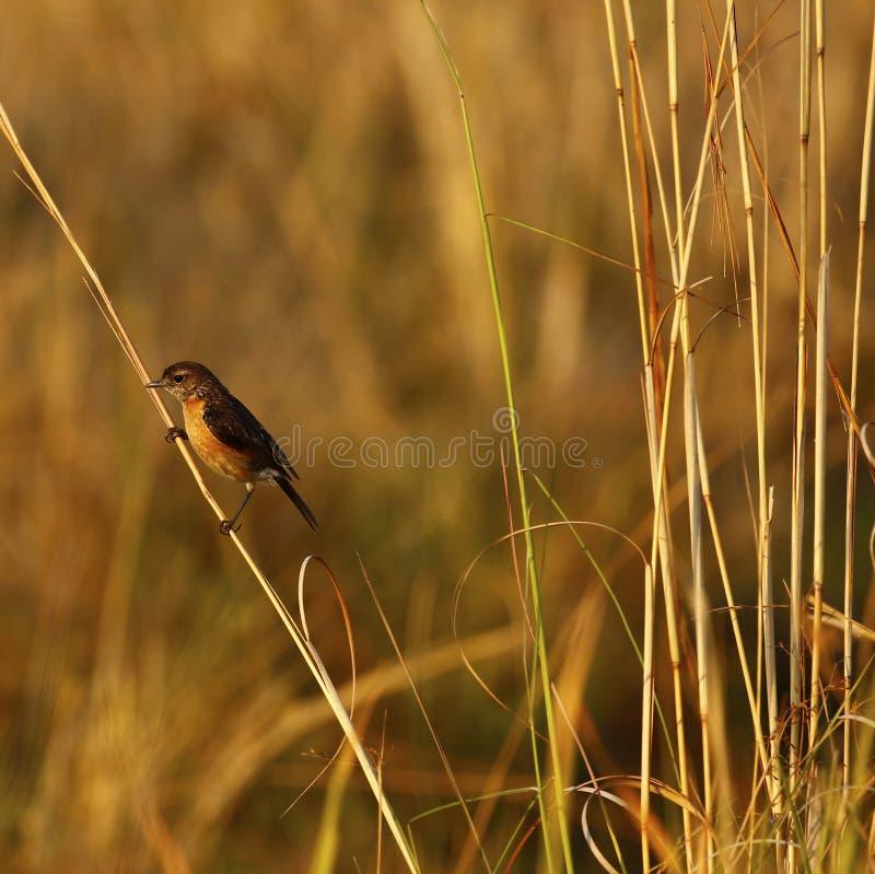 Kalahari ou Sandy frottent le merle photos stock