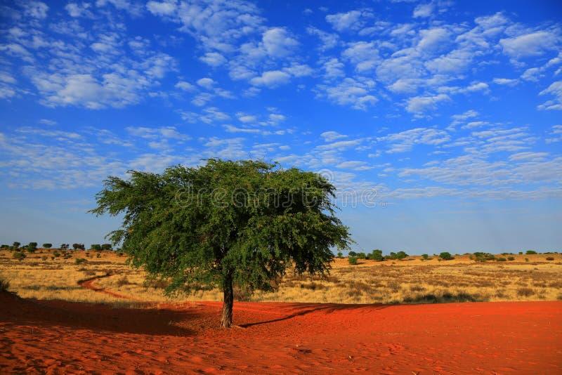 Kalahari pustynia obraz royalty free