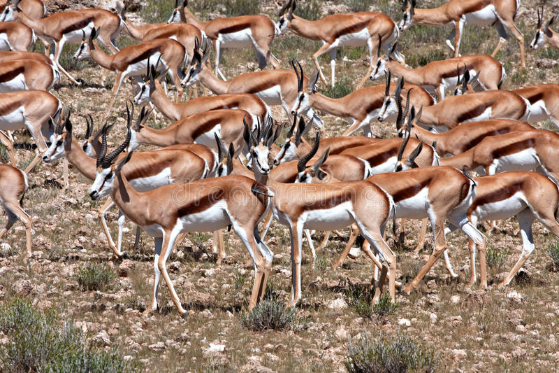 kalahari springbok royaltyfri fotografi