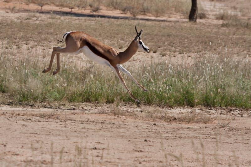 kalahari springbok arkivfoto
