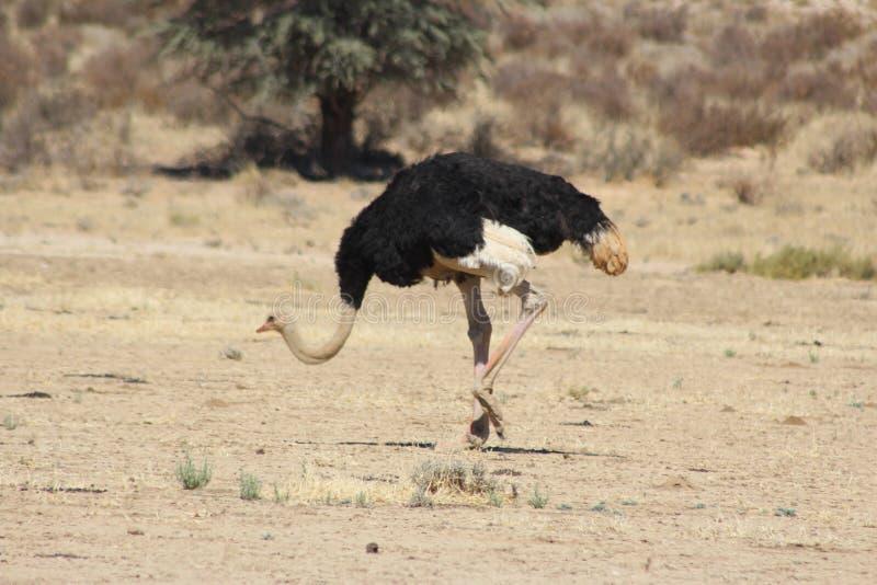 Kalahari struś - zrywania jedzenie obrazy royalty free