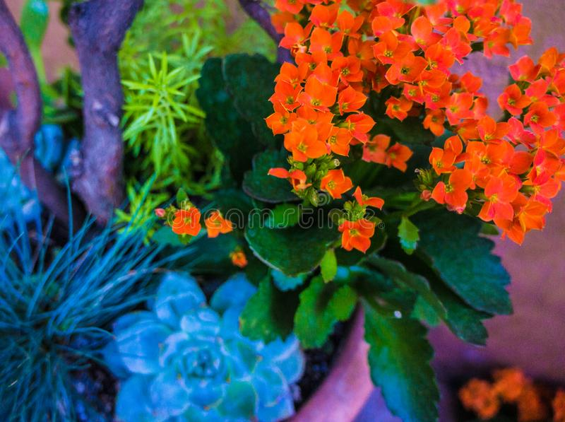 Kalanchoe,热带多汁开花植物 免版税库存照片