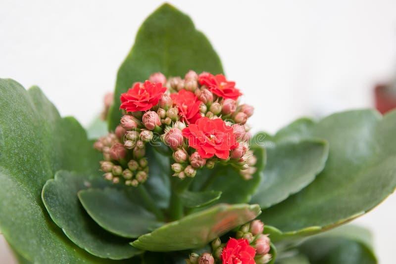 Kalanchoe avec les fleurs rouges photographie stock