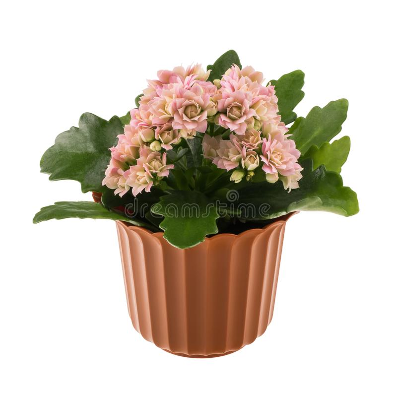 Kalanchoe blomma i den dekorativa blomkrukan arkivfoton