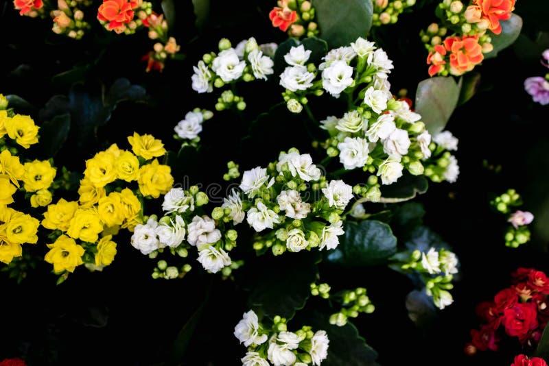Kalanchoe blossfeldiana - Calandiva, Flaming Katy, Florist Kalanchoe - ροζ κοράλλια Πολύχρωμα μικρά άνθη του Kalanchoe στοκ φωτογραφίες