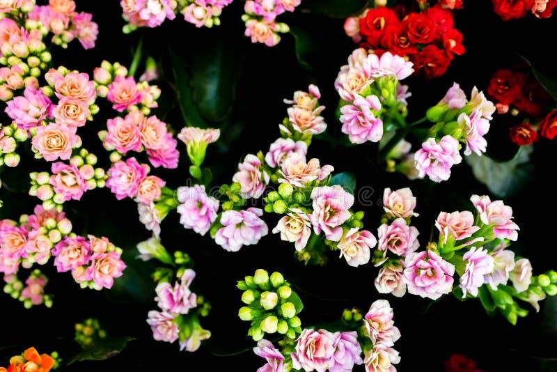 Kalanchoe blossfeldiana - Calandiva, Flaming Katy, Florist Kalanchoe - ροζ κοράλλια Πολύχρωμα μικρά άνθη του Kalanchoe στοκ εικόνες