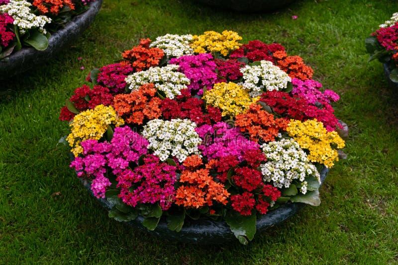 Kalanchoe blossfeldiana czerwieni menchii żółta purpura kwitnie tło wzór Piękny jaskrawy tłustoszowaty roślina pokaz obrazy royalty free