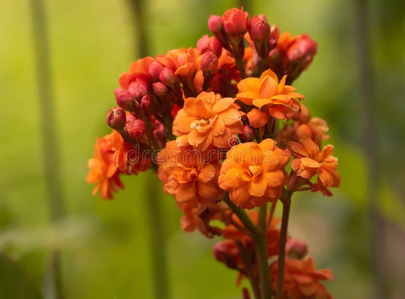 Kalanchoe-blossfeldiana im schönen Abschluss der orange Blüte oben stockfotos