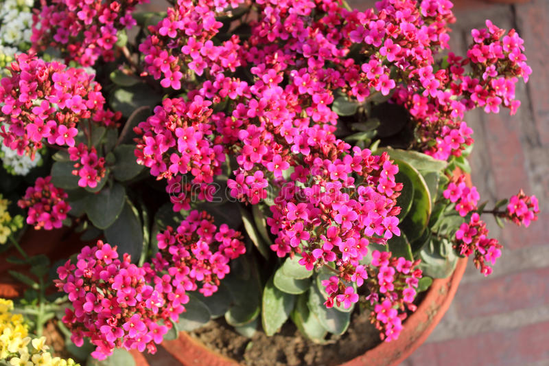 Kalanchoe blossfeldiana pink stock image image of small pink kalanchoe blossfeldiana pink ornamental potted plant with succulent opposite leaves and small pink flowers in terminal branched panicles mightylinksfo