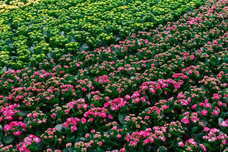 Kalanchoe blossfeldiana Poelln 在冬天期间,并且杂种绽放每年一次 库存图片