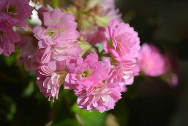 Kalanchoe Calandiva del florista fotografía de archivo