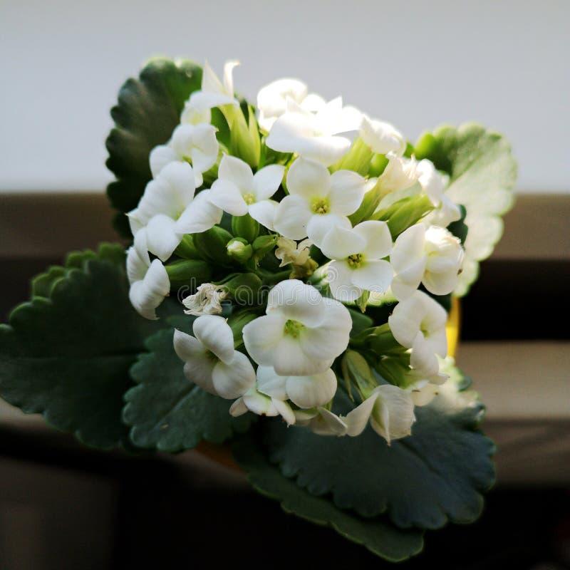 Kalanchoe Calandiva - flor blanca hermosa imágenes de archivo libres de regalías