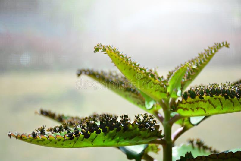 Kalanchoe daigremontiana roślina Matka tysiące Aligator p zdjęcia royalty free