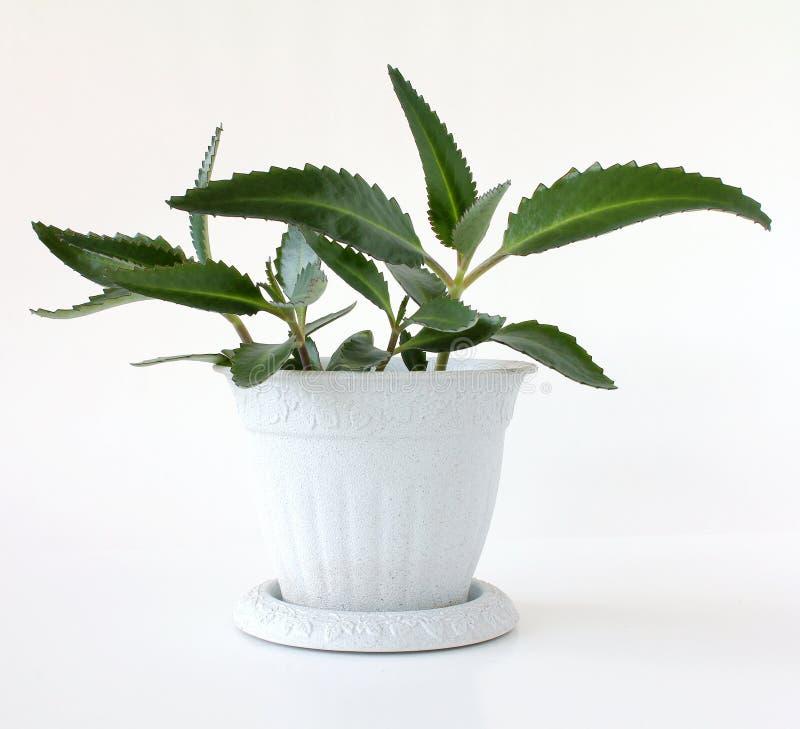 Download Kalanchoe diagremontiana stock image. Image of bryophyllum - 16334073