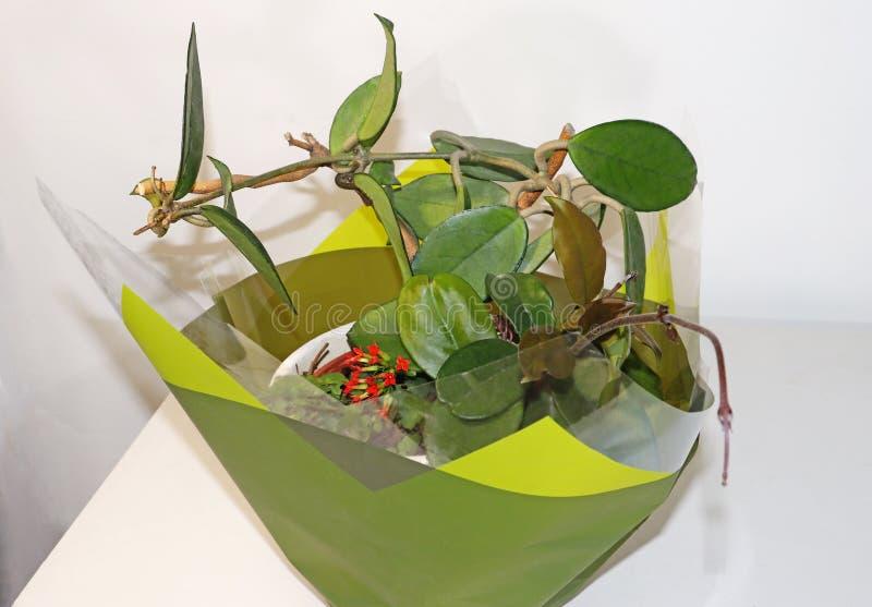 Kalanchoe e Hoya Carnosa in un vaso fotografia stock