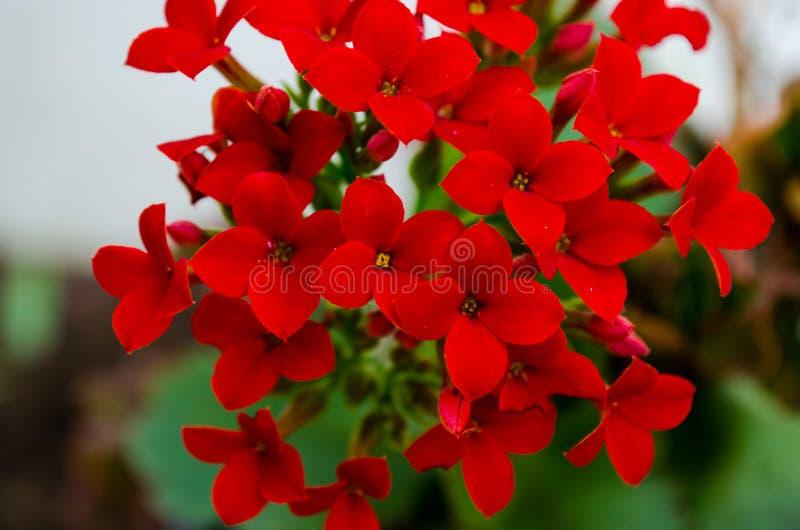Kalanchoe - el flamear katy, kalanchoe de la Navidad o flor de la fortuna imagen de archivo