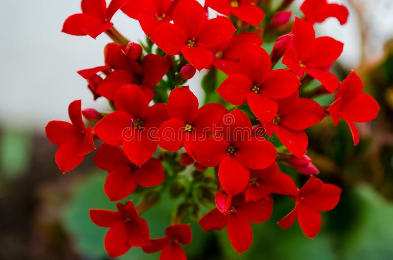 Kalanchoe - Flaming katy, Christmas kalanchoe or Fortune Flower is a flower with intense red colors stock image