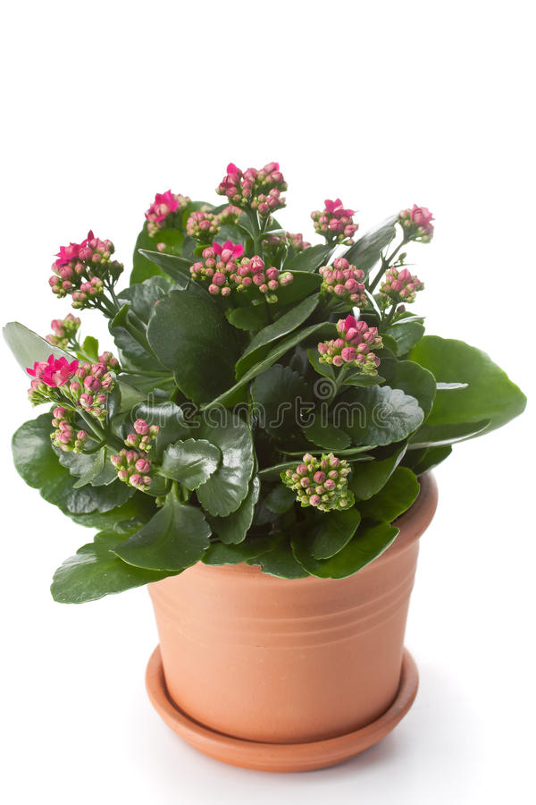 Download Kalanchoe house plant stock photo. Image of house, environment - 22508824
