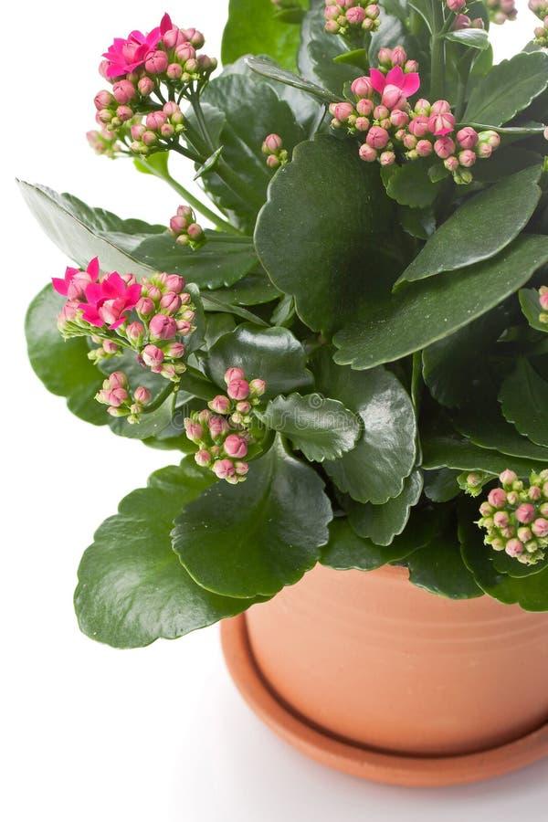 Download Kalanchoe house plant stock photo. Image of decorative - 22508836