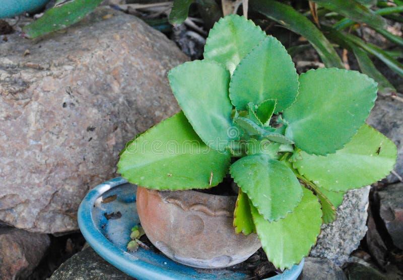 Kalanchoe pinnata eller crassulaceae- eller Bryophyllum daigremontiana, moder av tusentals, växter med sidor mycket inavel arkivbild