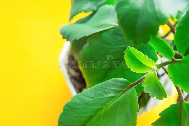 Kalanchoe Pinnata in White Pot on Bright Yellow Background. Sunlight. Fresh Vibrant Green Leaves. High Resolution Banner stock images