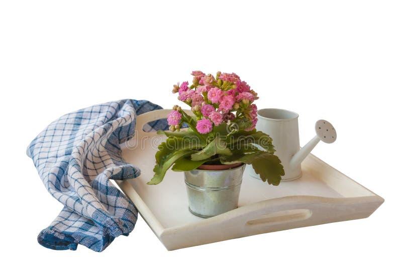 Kalanchoe rosado aislado en la bandeja blanca en un aislador blanco del fondo fotografía de archivo libre de regalías