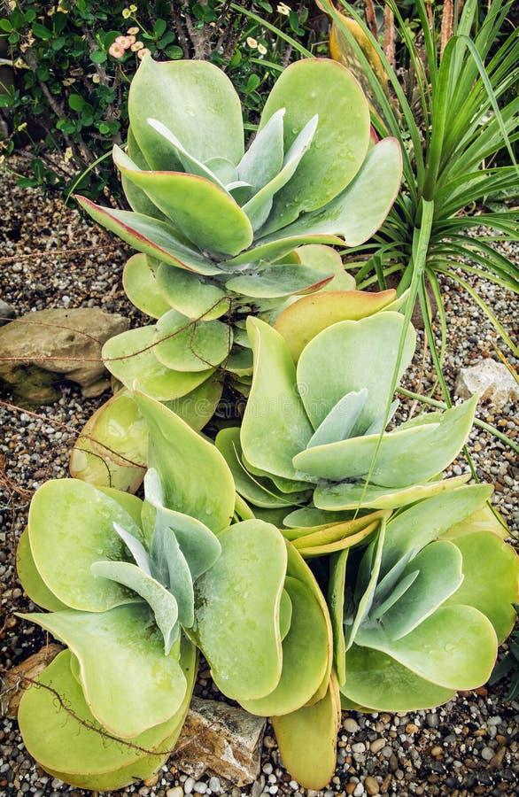 Kalanchoe thyrsiflora植物 免版税库存图片