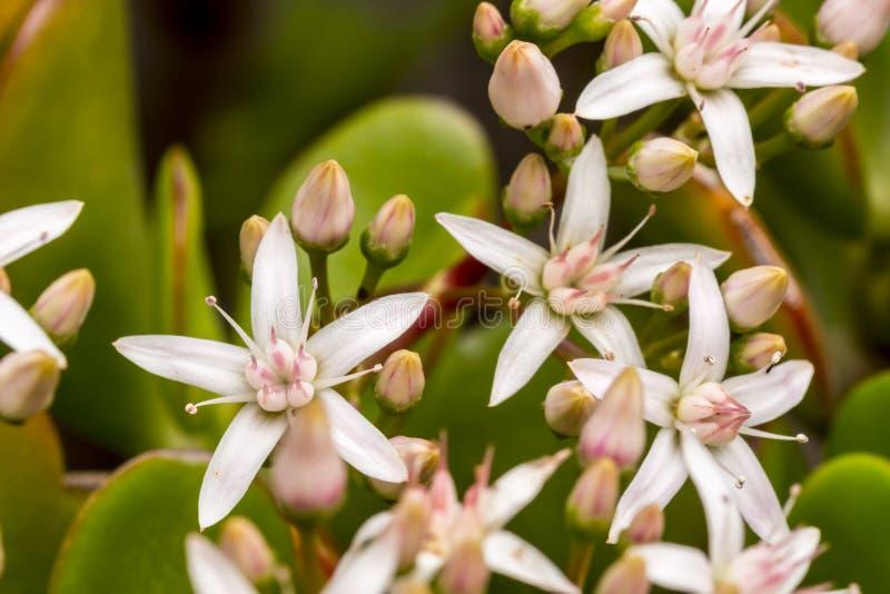 Kalanchoe Thyrsiflora的花 免版税库存图片