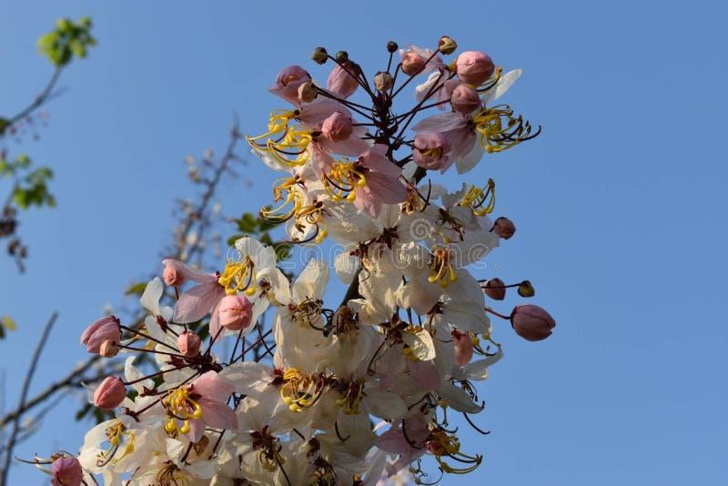 Kalapapruek kwiat w Thailand fotografia stock