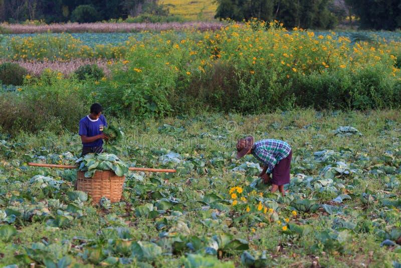 Kalaw高地,缅甸- 2019年11月18日:收获在领域的地方农夫花椰菜在高地  免版税库存图片