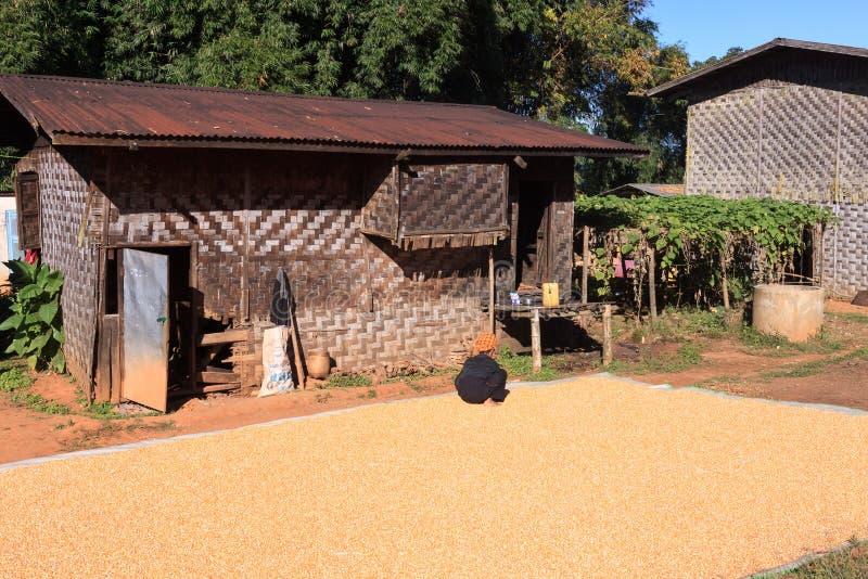 Kalaw średniogórza Myanmar, Listopad, - 18 2019: Lokalna średniorolna suszarnicza kukurudza w wiosce w średniogórzach wokoło Kala obrazy royalty free