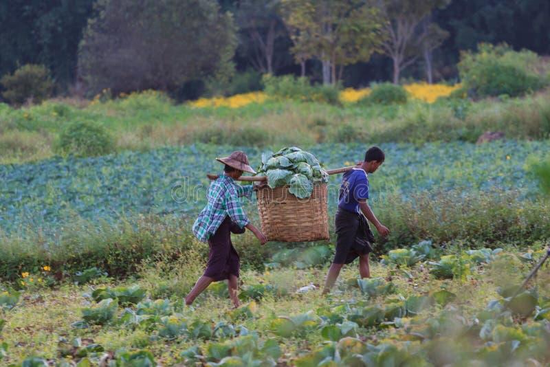 Kalaw högländer, Myanmar - November 18 2019: Lokala bönder som omkring skördar blomkålen i fälten i högländerna arkivbild