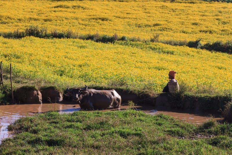 Kalawhooglanden, Myanmar - November 18 2019: De lokale landbouwer die haar koeien laten calmt zich in de hete zon in de hooglande stock foto