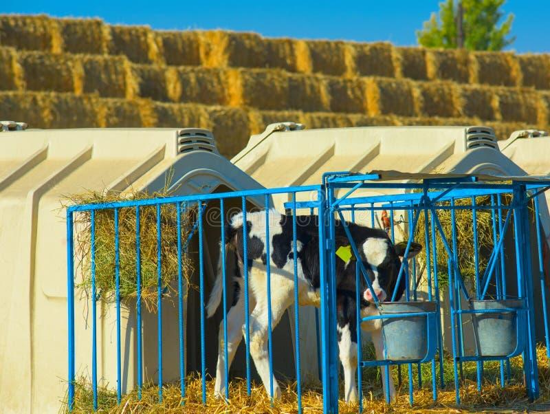 Kalb auf dem Bauernhof stockfoto