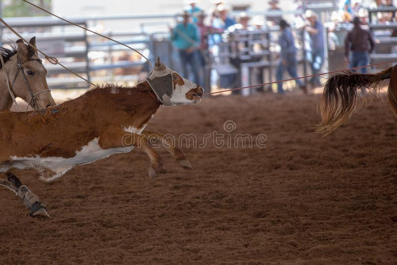 Kalb, das an einem Rodeo Roping ist stockfoto