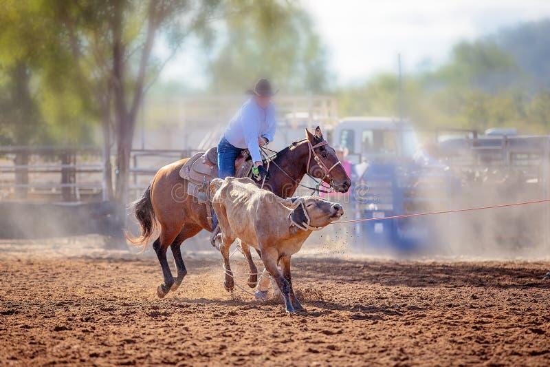 Kalb, das an einem Rodeo Roping ist stockfotos